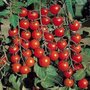 Обзор томата каскад: фото, особенности и отзывы о сорте