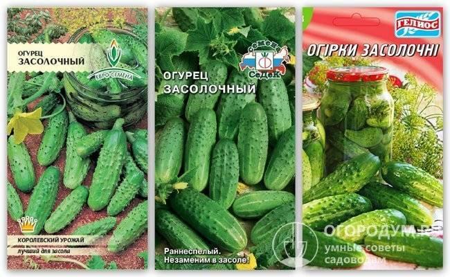 Стойкие к заболеваниям и легкие в уходе огурцы «буян f1» от российских селекционеров