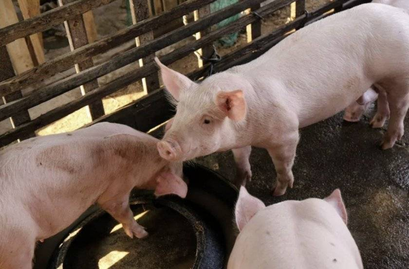 «можно ли кормить свиней пищевыми отходами, т. е. помоями? «