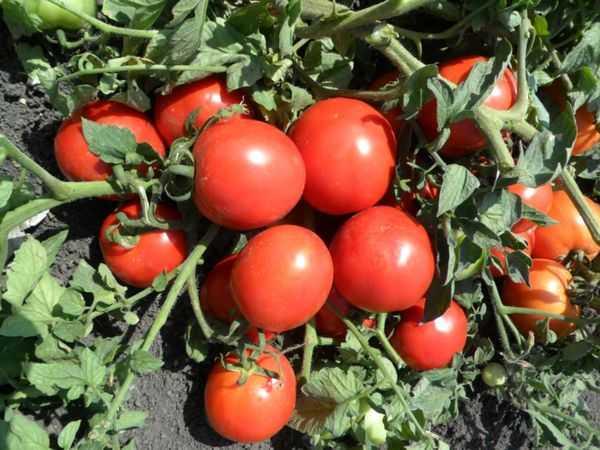 Какие сорта томатов лучше всего выращивать в самарской области