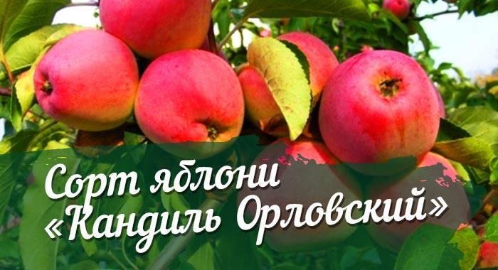 Описание и характеристики яблони сорта солнышко, правила посадки и ухода