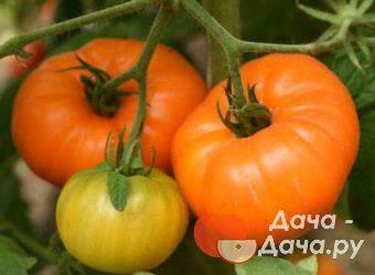 Сорт томата «розовый клад f1»: описание, характеристика, посев на рассаду, подкормка, урожайность, фото, видео и самые распространенные болезни томатов