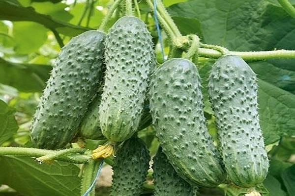 Описание сорта огурцов Вятский, его характеристика и урожайность