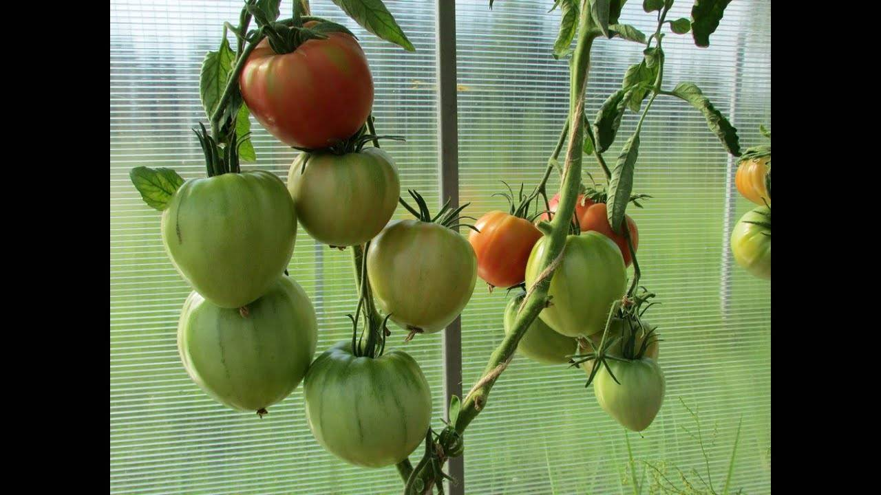 Сорт томата «безразмерный»: описание, характеристика, посев на рассаду, подкормка, урожайность, фото, видео и самые распространенные болезни томатов