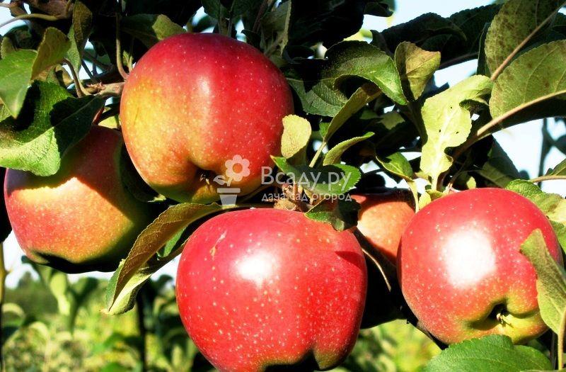 Яблоня народное: особенности сорта и ухода