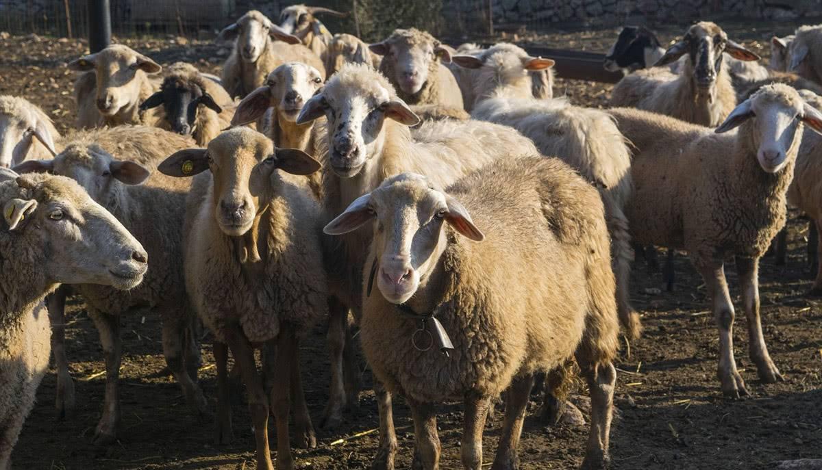Всё о романовской породе овец. характеристики, отзывы, фото и видео