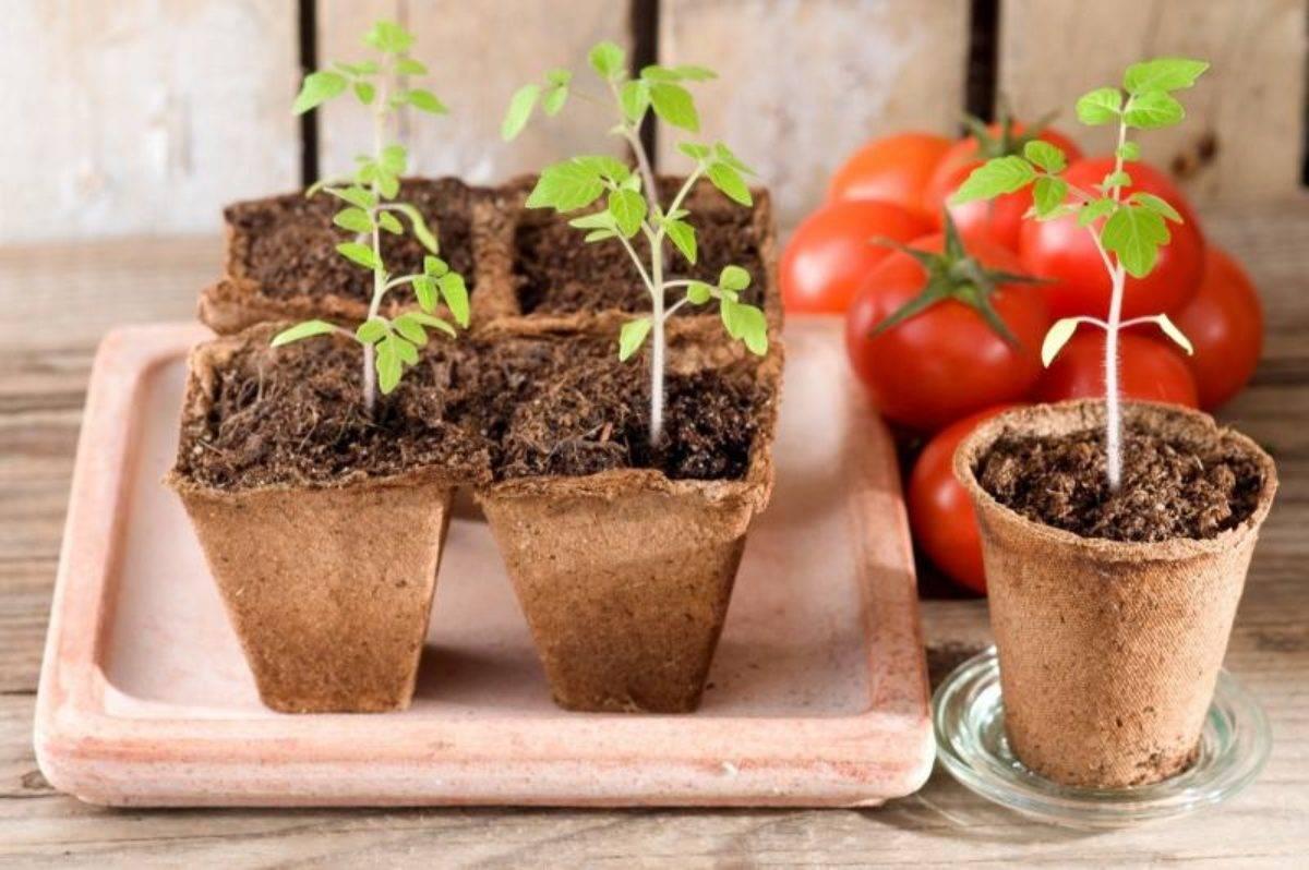 Китайский способ выращивания рассады томатов инструкция