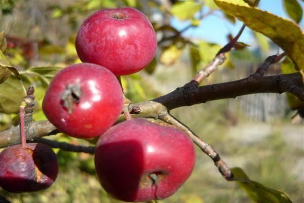 Позднезимняя яблоня заславское