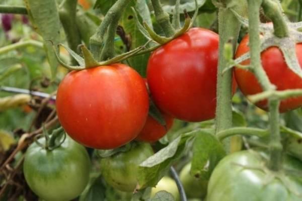 Урожайный сорт помидоров верлиока для выращивания в теплицах