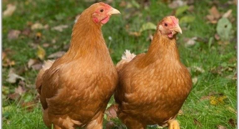 Шейвер браун порода кур