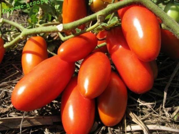 Томат высокоурожайный супербанан: особенности плодов, описание агротехники, мнение садоводов