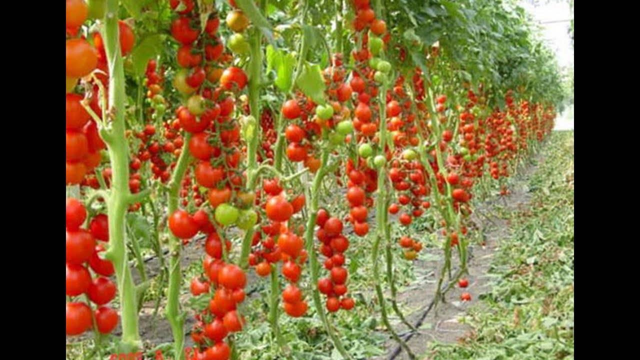 Помидоры в теплице - выращивание томатов для начинающих