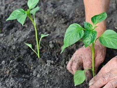 Перец: выращивание из семян на огороде