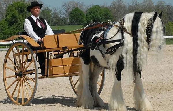 Описание и особенности лошадей голштинской породы, правила содержания и цена
