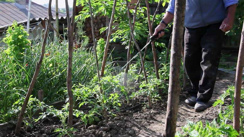 Опрыскивание помидоров в теплице: 8 полезных средств