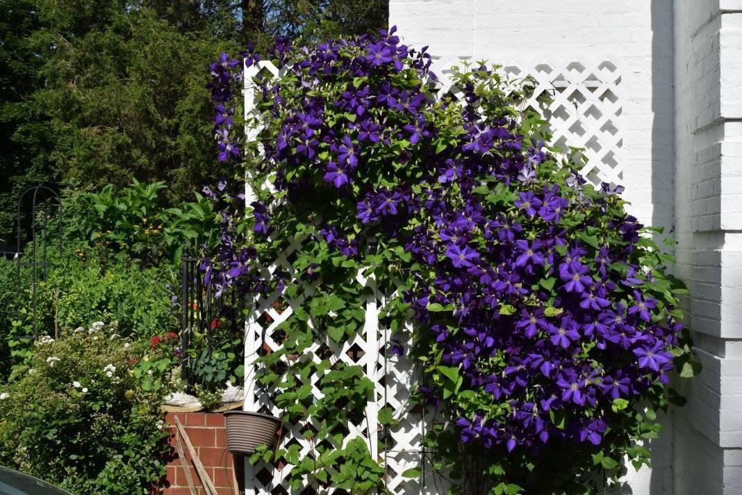 Как и когда лучше пересаживать клематис осенью или весной на новое место