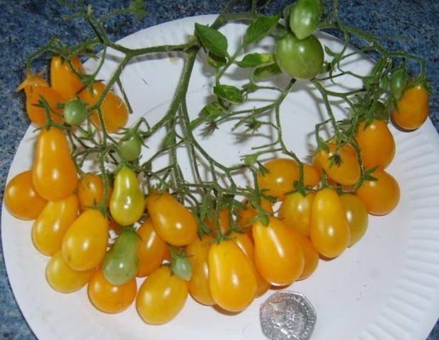 Сорт с вкусными плодами черри — томат ильди: полное описание растения и его характеристики