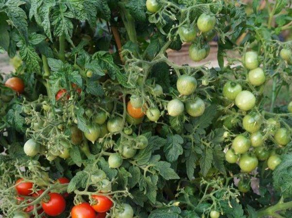 Характеристика и описание сорта томата Сладкий поцелуй, его урожайность