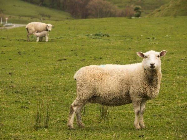 Половая зрелость овец и особенности спаривания, методы осеменения