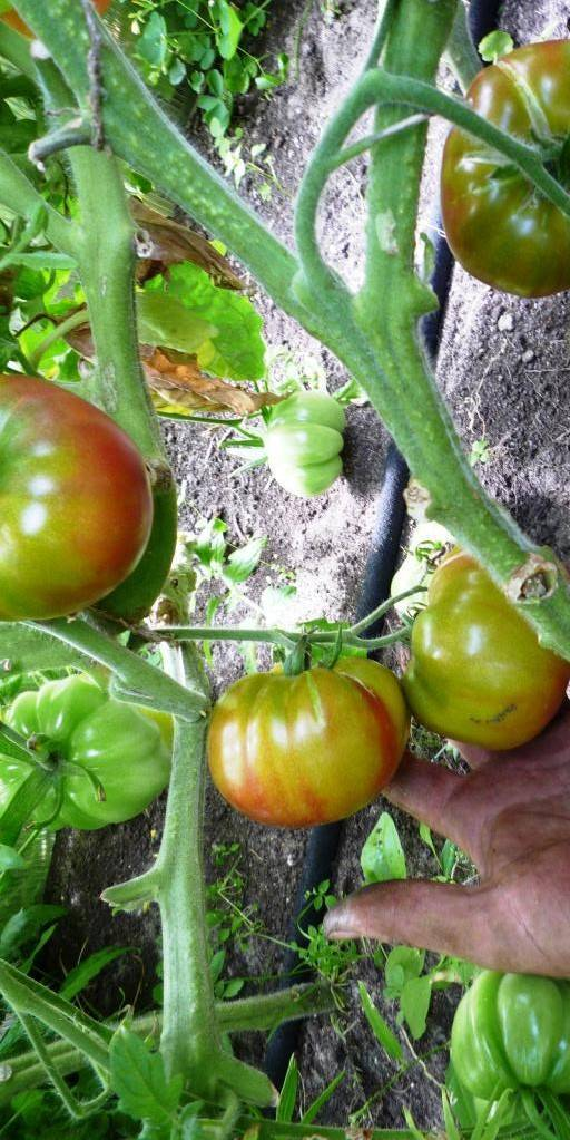 Сорт томата «красная шапочка»: описание, характеристика, посев на рассаду, подкормка, урожайность, фото, видео и самые распространенные болезни томатов