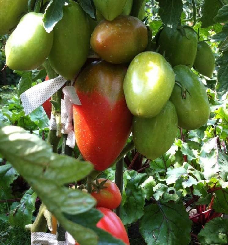 томат петруша огородник фото куста высокая производительность достигается