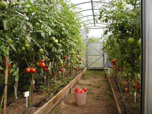 Самые популярные сорта помидоров для московской области