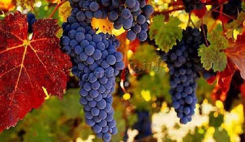 Виноград кодрянка: описание сорта и характеристика, сроки созревания и уход с фото