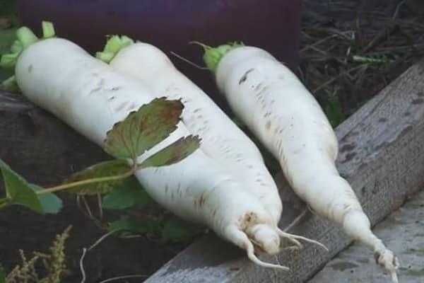 Дайкон дубинушка: описание и характеристика сорта, урожайность с фото