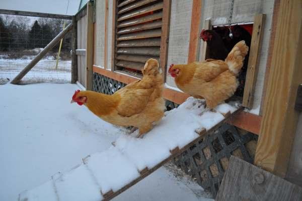 Световой день для кур несушек зимой