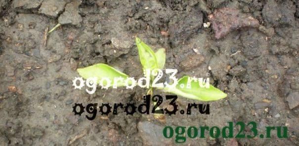 У перца скручиваются листья: причины заболевания, методы лечения