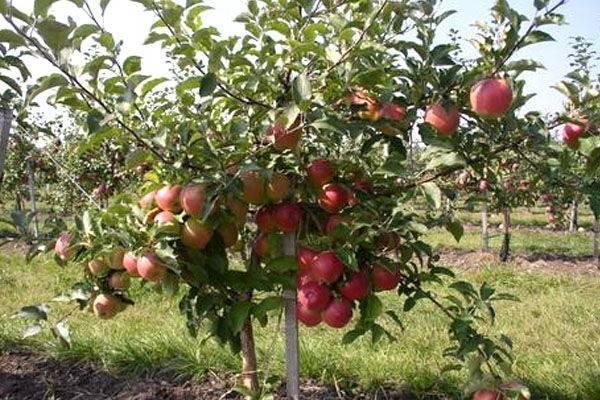 Яблоня строевское — правила выращивания