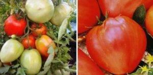 Характеристика и описание сорта томата Огни Москвы, его урожайность
