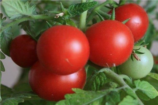 Высокоурожайный и неприхотливый томат «бенито» — секреты получения богатого урожая