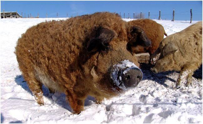 Порода свиней йоркшир: особенности, уход, кормление и правила разведения