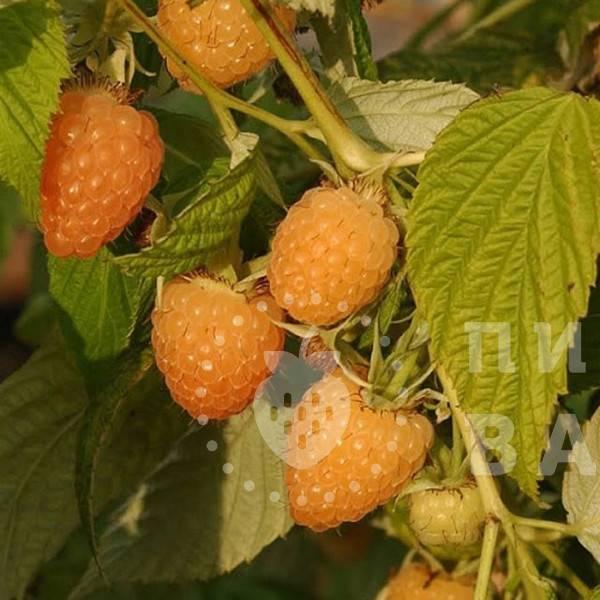 Подкормка малины: весной, осенью и летом для хорошего урожая