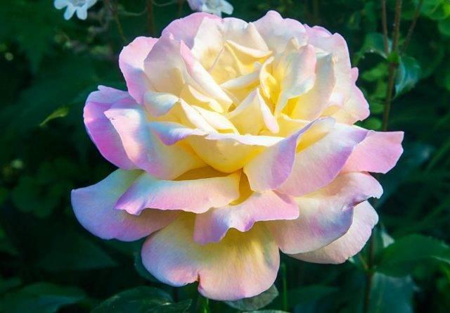 Роза глория дей клайминг: описание сорта, посадка и уход, отзывы цветоводов
