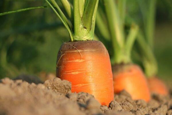 Что можно посадить в июле на огороде?