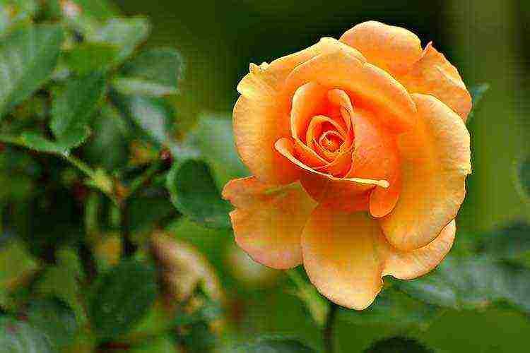 Розы грандифлора: описание и правила ухода