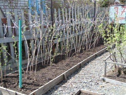 Чем обработать малину от вредителей во время цветения и плодоношения