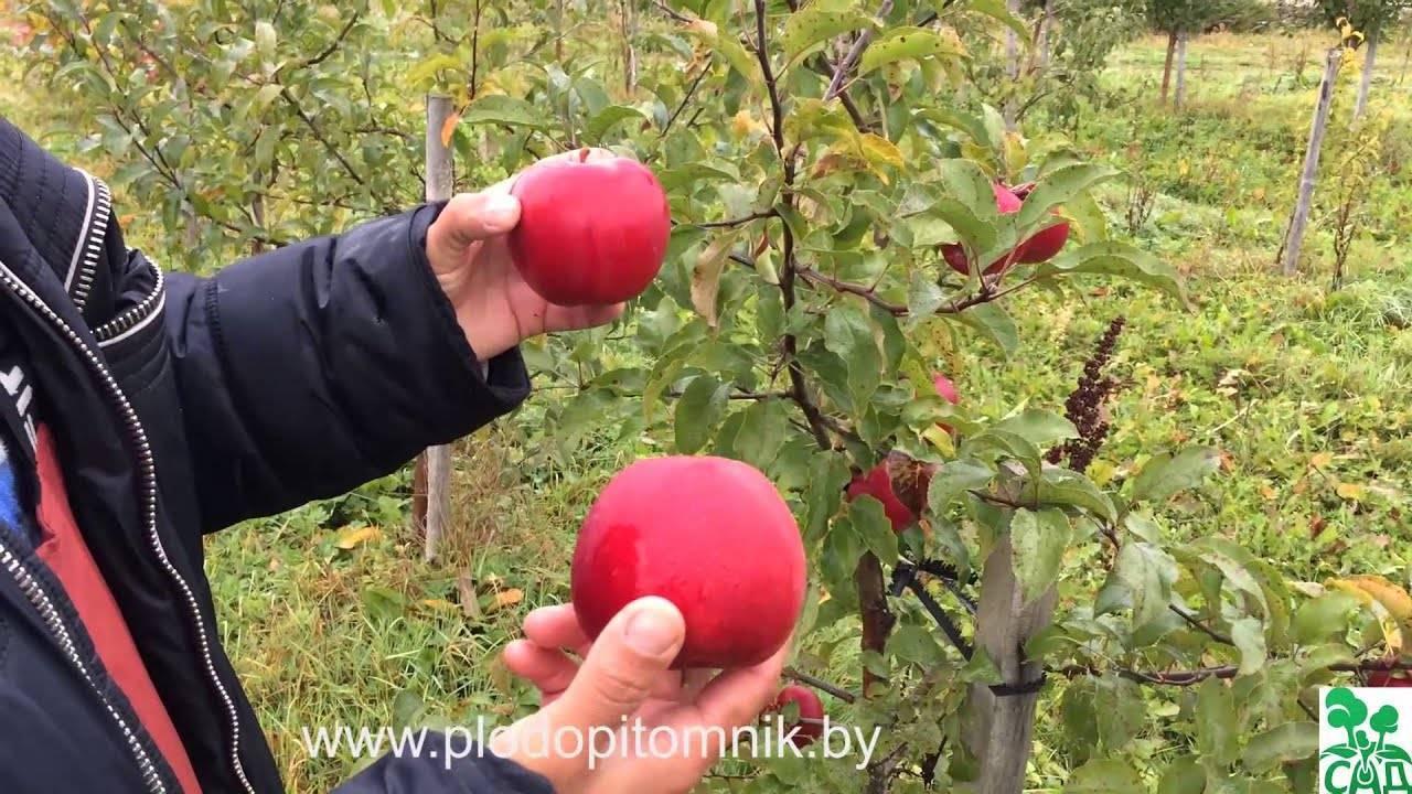 Морозоустойчивая садовая яблоня сорта «марина»
