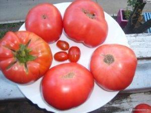 Томат «оранжевый гигант»: популярный среди любителей и профессионалов в выращивании помидор