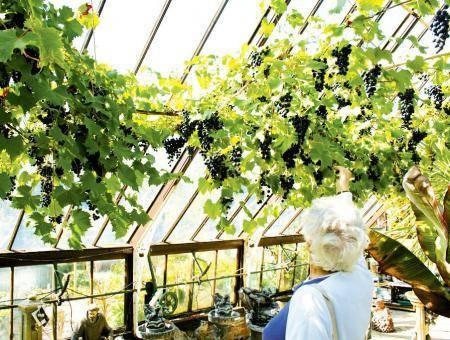 Выращивание винограда в теплице: почему не плодоносит? тонкости технологии полива и подкормки