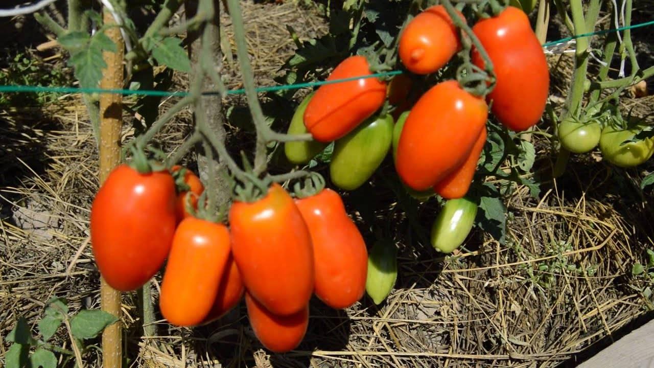 Сорт томата дебют. сорт для фермеров и новичков — томат дебют f1: описание помидоров и особенности их выращивания