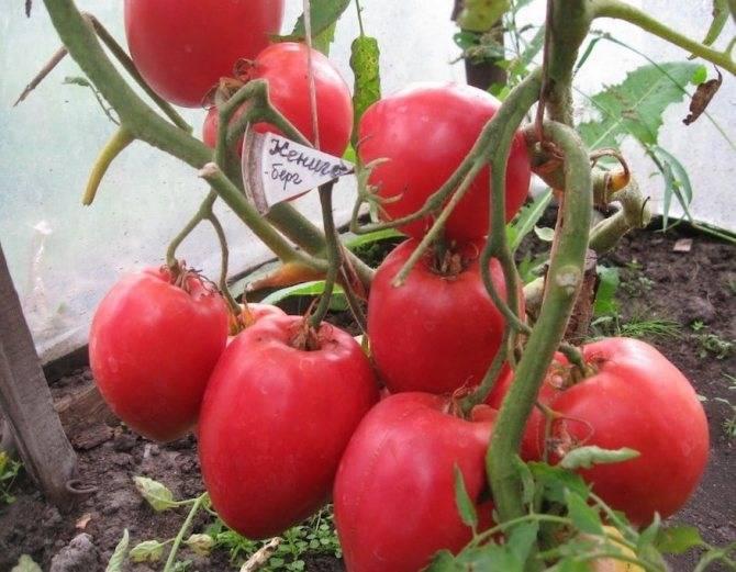 Описание сорта томата Малика, особенности выращивания и уход