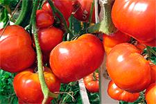 Томат «бабушкино лукошко» – новый сорт от фирмы «гавриш»