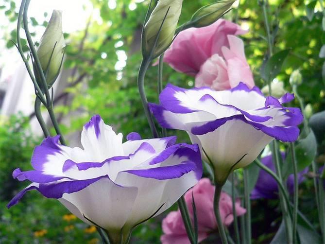 Эустома многолетняя — посадка и уход, фото цветов