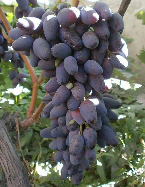Сорт винограда памяти негруля: фото и отзывы