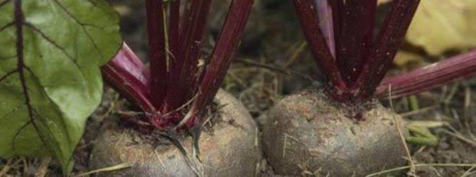 Посадка свеклы в открытый грунт семенами