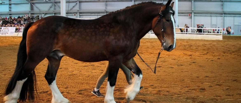 Шайры — лошадиная порода скакунов