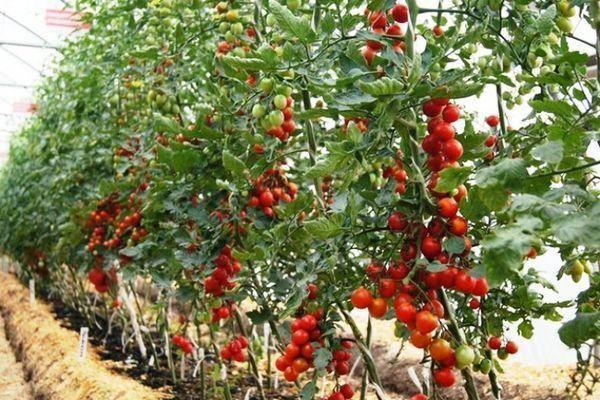 Томат фитоус: характеристика и описание сорта, урожайность с фото